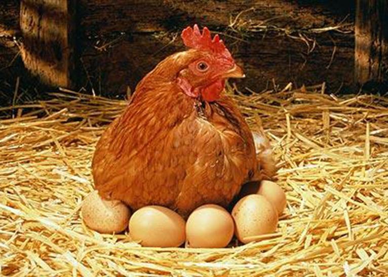 닭을 죽이지 말라!
